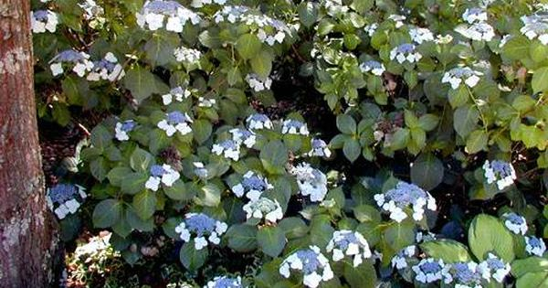 For West Side Of Front Yard Hydrangea Veitchii Best For Changing Shade Also Not So Showy Hydrangea Landscaping Hydrangea Garden Hardy Hydrangea