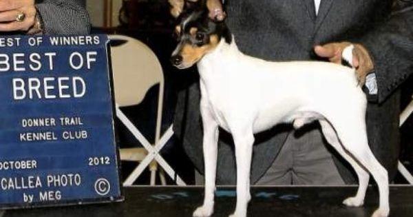 Toy Fox Terrier Dog Breed Information Toy Fox Terriers Fox Terrier Terrier Dog Breeds
