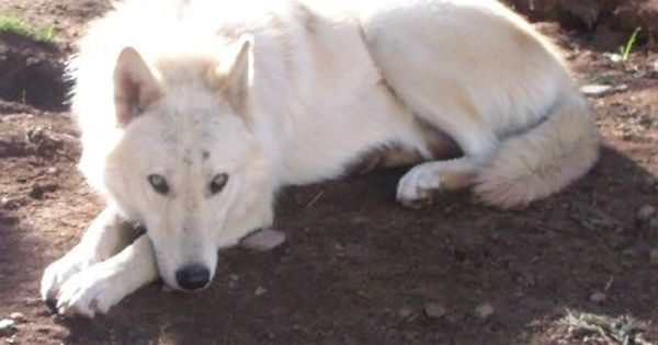 Nor Cal Wolfdogs Hannah Wolf Dog Wolf Hybrid Wolf Hybrid Puppies