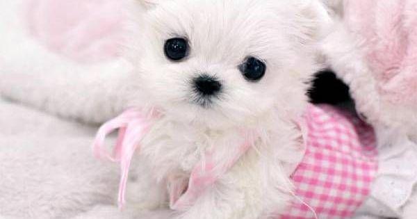Teacup Maltese Dog
