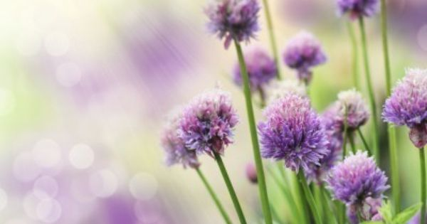 How To Plant Chives Growing Chives In Your Garden Plants For Small Gardens Chives Plant Edible Garden