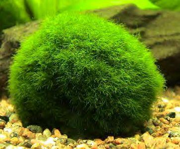 Japanese Floating Moss Balls Marimo Moss Ball Marimo Marimo Moss