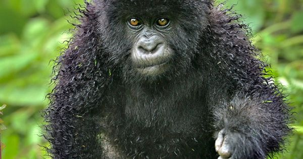 Baby mountain gorilla (when home perms go wrong)....just adorable!