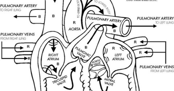 heart diagram   man i miss anatomy classes