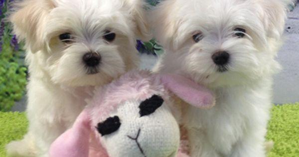 Three Is A Crowd Maltese Puppy