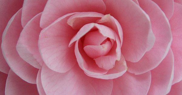 Perfect Pink Petals...