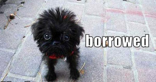 Chimney Sweep Dog Cute Dogs Affenpinscher Puppy Cutest Dog Ever