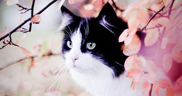 cherry blossom kitty