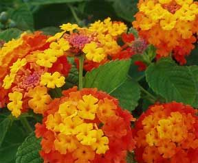 Lantana Plant Care Lantana Plant Drought Tolerant Plants Plants
