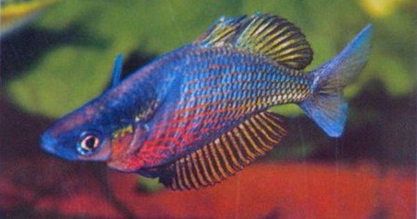 Sepik rainbowfish glossolepis multisquamatus up to 5 5 for Tropical rainbow fish