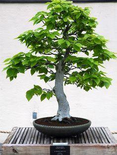 Bonsai American Beech Tree Bonsai Tree Bonsai Care Bonsai