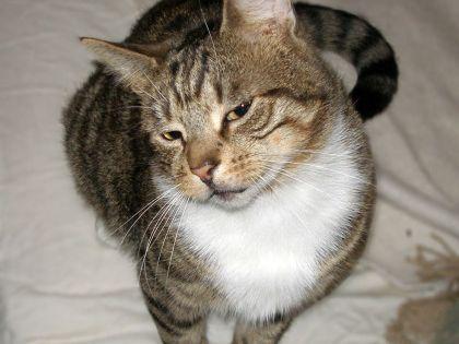 Adopt Bogey On Petfinder Cat Adoption Animals Cats