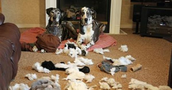 Playful Paws Pets Of Mass Destruction Great Dane Rescue Great