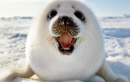 Happy Baby Seal