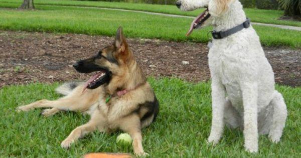 Pin On German Shepherd Dog Training