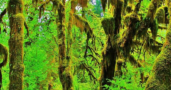 Hall of Mosses Trail in the Hoh Rainforest of Olympic National Park,