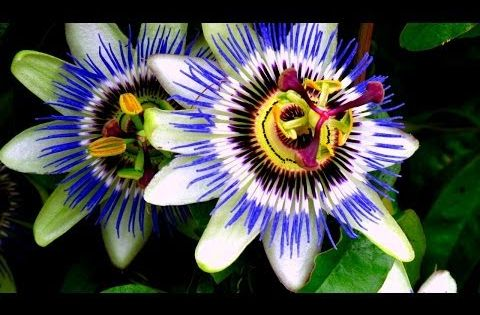 Blue Passion Vine Passiflora Caerulea Tasty Yellow Fruit Here Passion Flower Blue Passion Flower Vine House Plants