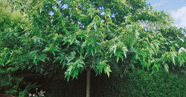 Murier a papier a feuilles de platane jardin plantation for Jardin et plantation