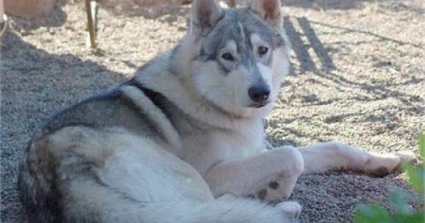 Wolamute Wolamutes Alaskan Malamute Timber Wolf Mix Wolf Dog Hybrid Dogs Dog Breeds