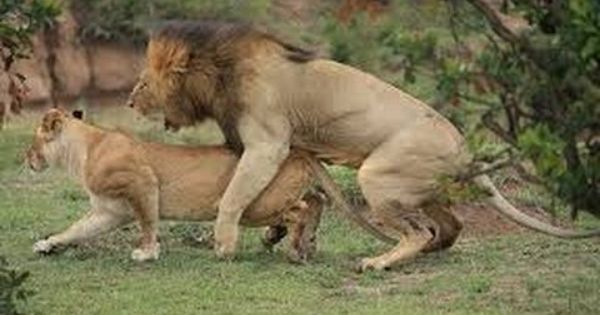 Vida de le n apareamiento y nacimiento dar animals pinterest watches - Leones apareamiento ...