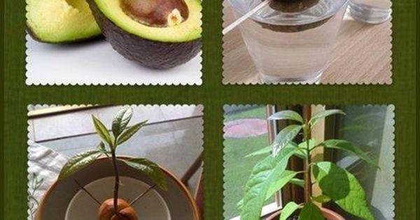 Eco ideas y reciclaje como tener un arbolito de paltas - Arbolitos para jardin ...