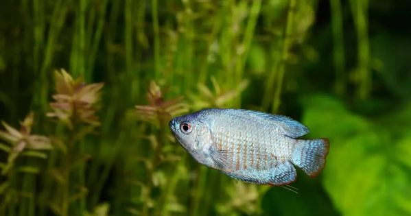 Top 10 Best Aquarium Fish For Planted Tanks With Pictures Aquarium Genius In 2021 Best Aquarium Fish Aquarium Fish Fish Pet