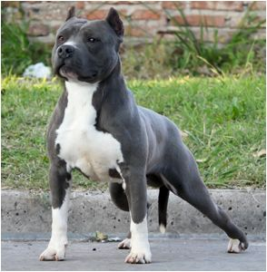 American Pitbull Bully Dogs Bully Dog Breeds Love Animals Pitbulls Americanbully Bluenosepitbull Pitbull Pitbull Terrier American Pitbull Terrier Dogs