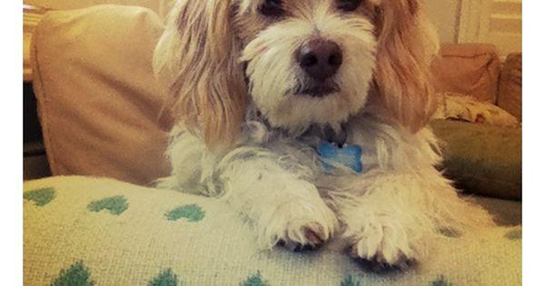 Poogle Poodle Beagle Mix Poogle My Favorite Dogs