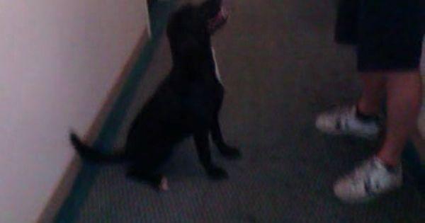 Black Labrador Does A Handstand Black Labrador Dog Training
