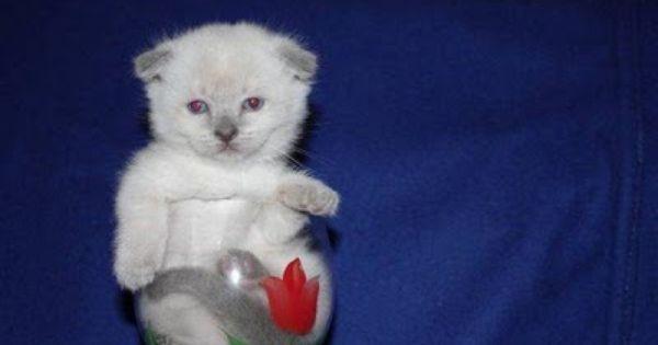 Teacup Scottish Fold Kitten Gattini Gatti