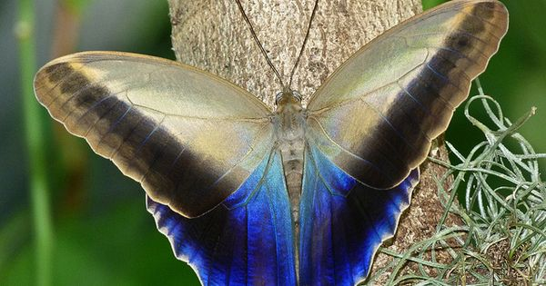 Forest Giant Owl Butterfly -- A group of South & Central America