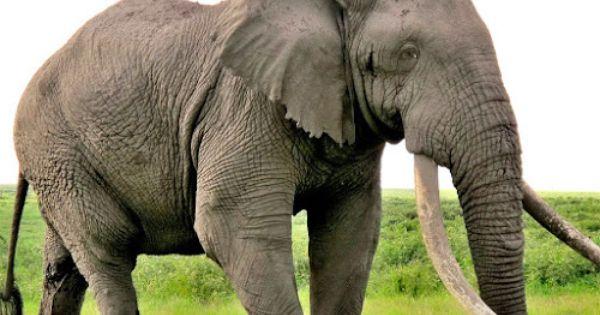 Gigantes Do Mundo 10 Maiores Animais Terrestres Do Mundo
