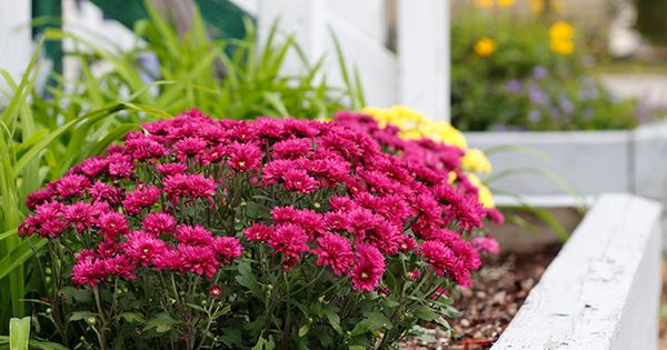 Why Don t Hardy Mums Survive the Winter