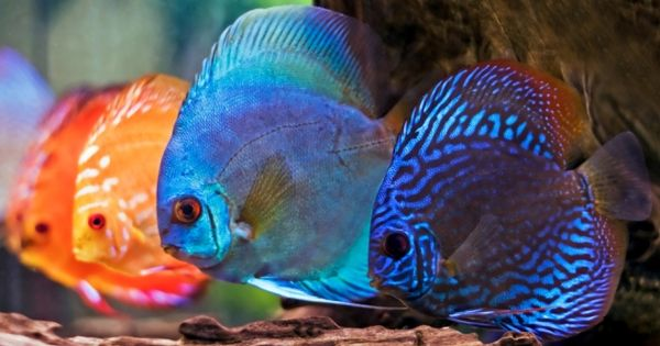 Discus overview the king of freshwater fish live fish for Live discus fish for sale