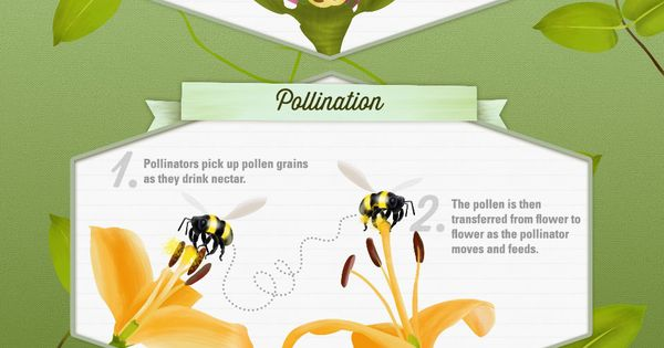 Pollination In Action Infographic From The Orkin Ecologist