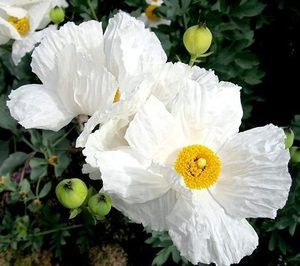 Q Do You Know What The Tall White Flowers With Yellow Centers Are That Are Blooming Right Now The Hillside White Poppy Flower Poppies Garden Design Magazine