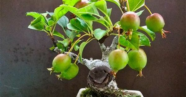 """Baby"" Bonsai 154 Crab Apple BONSAI's Minature"