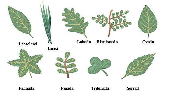 23 Tipos de hojas de arboles y sus nombres