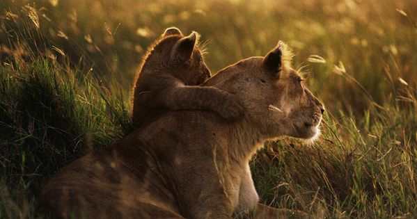 Miss Lion and her child looking at the horizon. Meadow Lion Lioness
