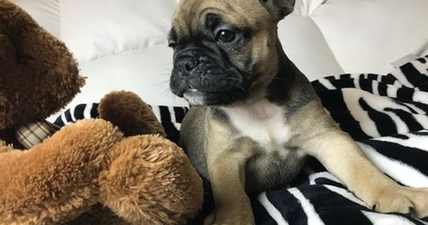 Litter Of 9 French Bulldog Puppies For Sale In Issaquah Wa Adn 29285 On Puppyfinder Com Gender French Bulldog French Bulldog Puppies Bulldog Puppies For Sale