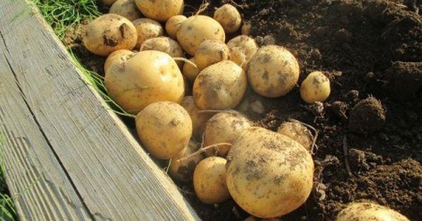 ジャガイモの育て方 ジャガイモ栽培 野菜のガーデン パーマカルチャー
