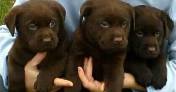 Lucky Labs Wallaceburg Ontario Lab Puppies Chocolate Lab Puppies Labrador Retriever