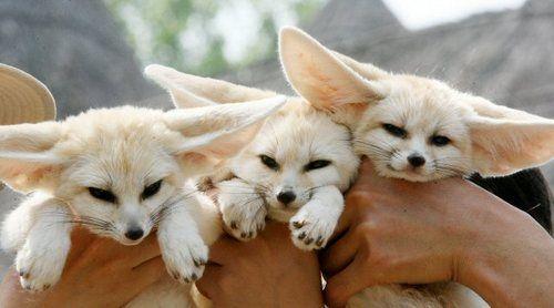 Fennec Fox Pet Fox Animals Cute Animals