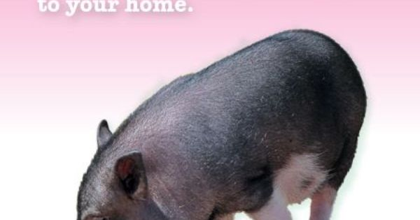 Pot Belly pig facts...too many people get baby pigs ...