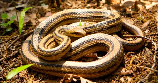 シマヘビの特徴や飼育方法 値段や寿命 アオダイショウとの違いは Woriver シマヘビ アオダイショウ ヘビ
