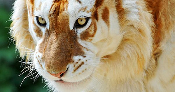 Extremely rare Golden Tiger-A golden tiger, golden tabby tiger or strawberry tiger