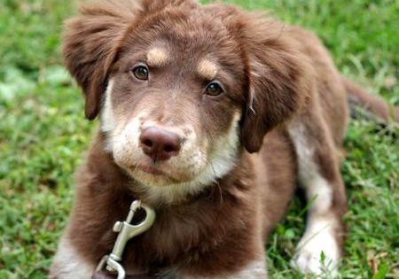 Golden Retriever Australian Shepherd Mix Puppy Australian