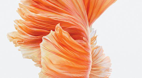 Iphone 6s Stock Wallpaper: New Wallpaper For Iphone 6s Betta Fish
