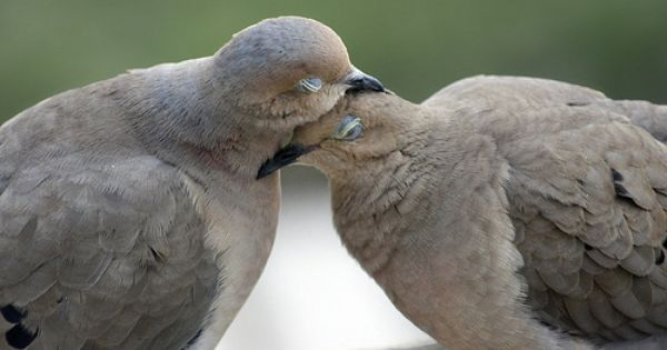 Cuddling Mourning Doves | Birds Of A Feather | Pinterest ...