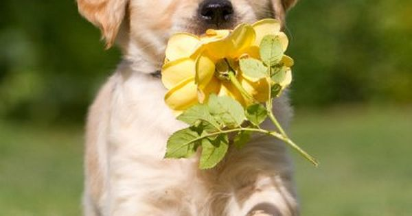 Golden Retriever puppy carrying a yellow rose. My dad wants one of